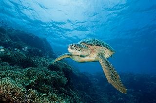 Turtle_Thalassa