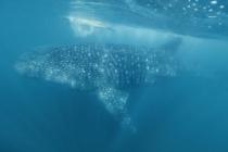 whaleshakswim05