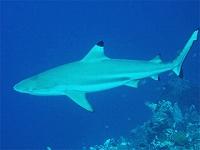 Carcharhinus-melanopterus