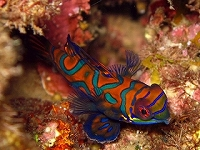 mandarin-fish1
